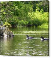 Two Loons Near Old Stump Canvas Print