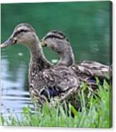 Two Mallards Canvas Print