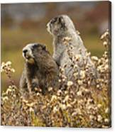 Two Marmots Canvas Print