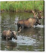 Two Moose Feeding Canvas Print
