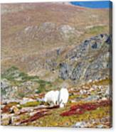 Two Mountain Goats On Mount Bierstadt In The Arapahoe National Fores Canvas Print