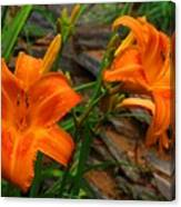 Two Orange Daylilies Canvas Print