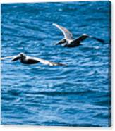 Two Pelicans Flying Canvas Print