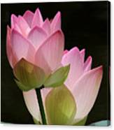 Two Pink Lotus Canvas Print