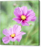Two Purple Cosmos Flowers Canvas Print