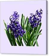 Two Purple Hyacinths Canvas Print