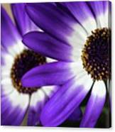 Two Purple N White Daisies Canvas Print