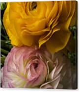 Two Ranunculus Canvas Print
