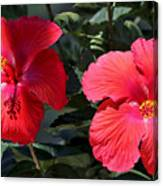 Two Red Hibiscus With Border Canvas Print