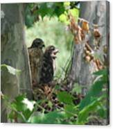 Two Red Shouldered Hawk Chicks Calling Mom  Canvas Print