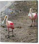 Two Roseate Spoonbills 2 Canvas Print