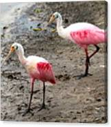Two Roseate Spoonbills Canvas Print