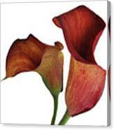 Two Rust Calla Lilies Square Canvas Print