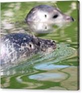 Two Seal Swimming Nature Scene Canvas Print