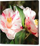 Two Striped Camellias Canvas Print