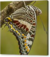 Two Tailed Pasha Butterfly Canvas Print