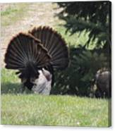 Two Tom Wild Turkeys Sparring To Impress A Hen Canvas Print
