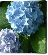 Two-toned Hydrangeas Canvas Print