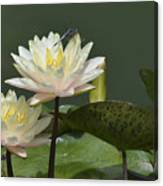 Two Yellow Water Lilies Canvas Print