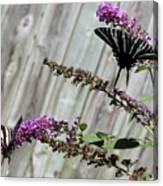 Two Zebra Swallowtail Butterflies Canvas Print