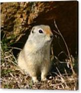 Uinta Ground Squirrel Canvas Print