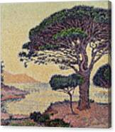 Umbrella Pines At Caroubiers Canvas Print