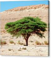 Umbrella Thorn Acacia, Negev Israel Canvas Print