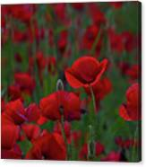 Umbria  Poppies 2 Canvas Print