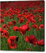 Umbria  Poppies 3 Canvas Print