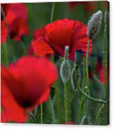 Umbria Poppies Canvas Print
