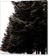 Under The Blue Spruce Canvas Print
