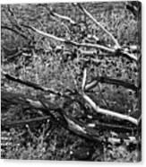 Under The Charred Laurel Sumac Canvas Print