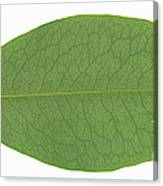 Underside Of A Coca Leaf, Erythroxylon Canvas Print