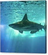 Underwater White Shark Canvas Print