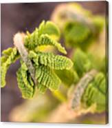 Unfolding Fern Leaf Canvas Print