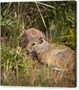 Unita Ground Squirrel Canvas Print