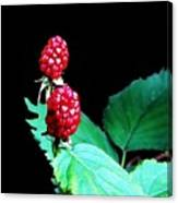 Unripe Blackberries Canvas Print