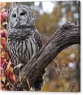 Untitled Owl Canvas Print