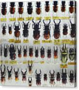 Unusual Pattern Made Out Of Many Stag Beetles Of Different Sizes Canvas Print