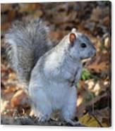 Unusual White And Gray Squirrel Canvas Print