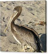 Up Close With A Pelican On A Sand Beach Canvas Print