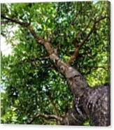 Up The Tree Canvas Print