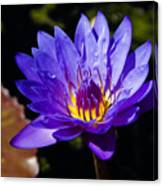 Upbeat Violet Elegance - The Beauty Of Waterlilies  Canvas Print