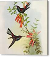 Urochroa Bougieri Canvas Print