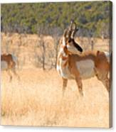 Utah Pronghorn Canvas Print