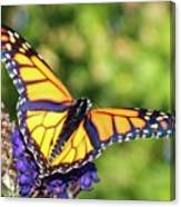 V Shaped Monarch  Canvas Print