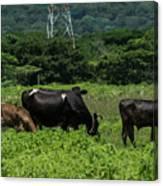 Vacas De Ahuachapan 2 Canvas Print