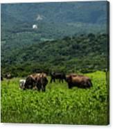 Vacas De Ahuachapan Canvas Print