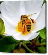 Vacaville Honey Bee Canvas Print