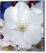 Vancouver 2017 Spring Time Cherry Blossoms - 2 Canvas Print